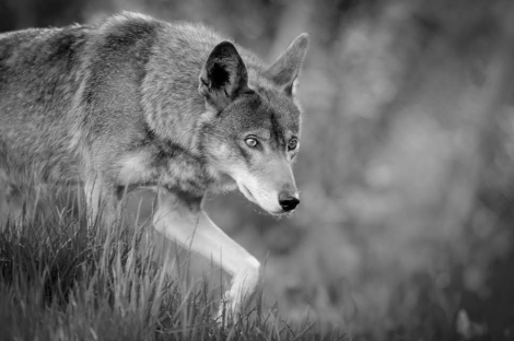 Red wolf by Seth Bynum