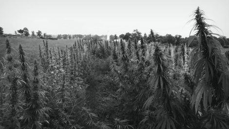 Hemp crop in KY BW